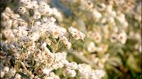 Nature White Flower