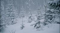 Pine Trees In A Snow Storm