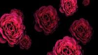 Roses Rain 2