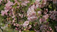 Spring Pink Bush