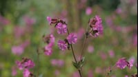 Spring Pink Flower 1