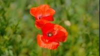 Spring Red Flower