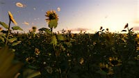Sunflowers Time-lapse