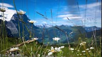 Swiss Mountain Flowers
